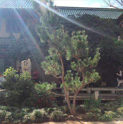 Osmanthus tree, the new addition to the garden and a special gift to the museum from USC.